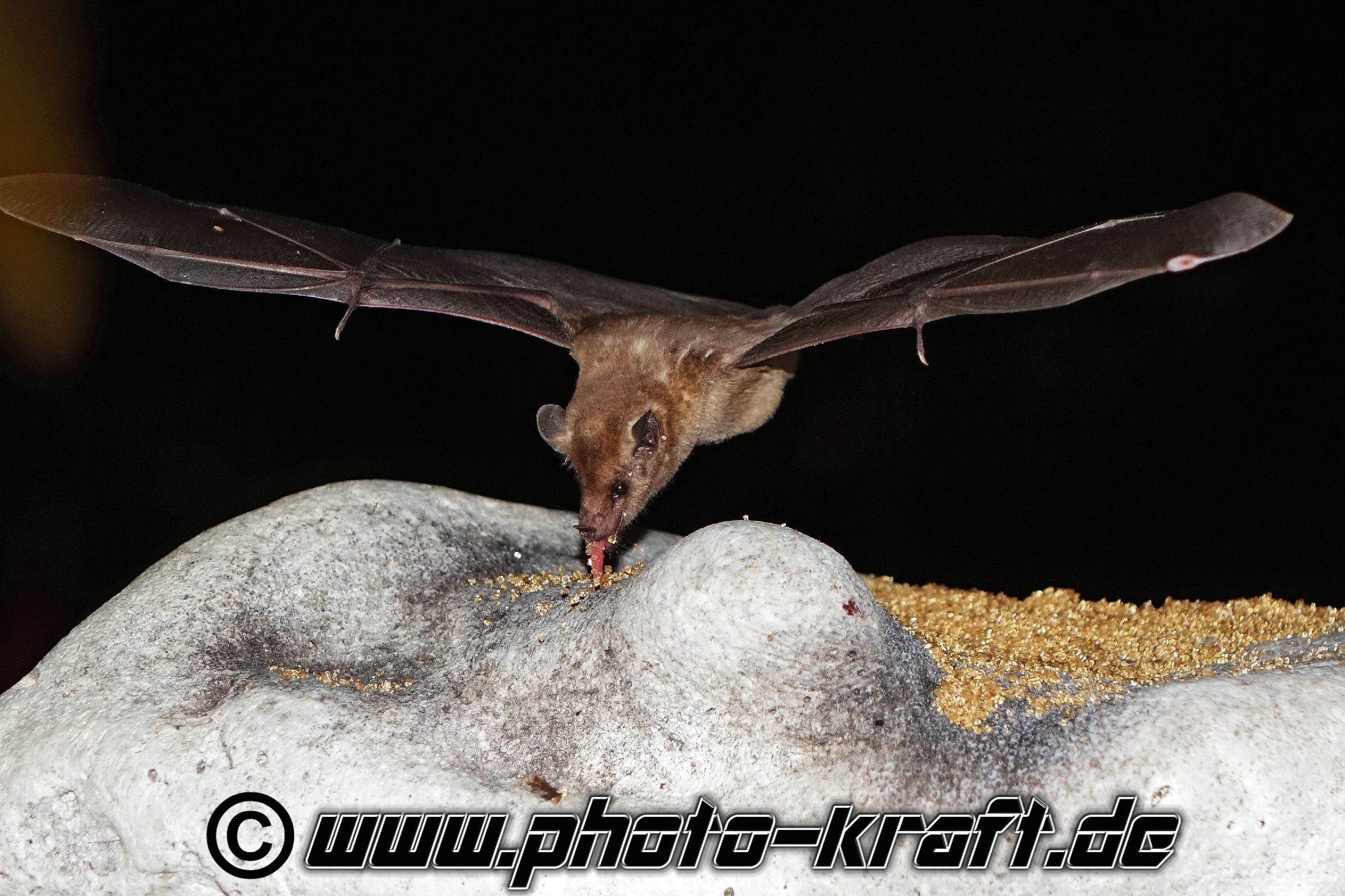 Fledermaus Bat